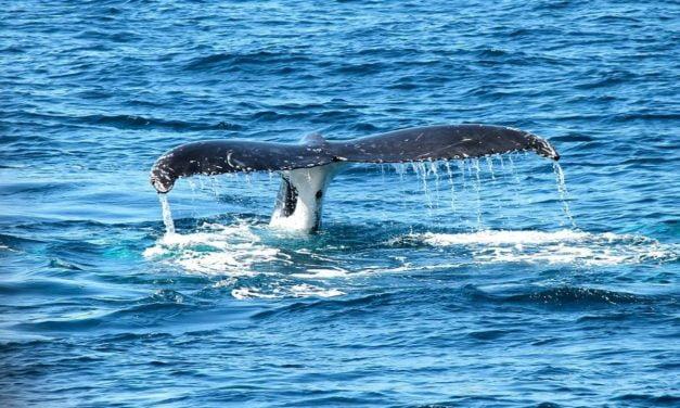 Les Baleines de Bangudae à découvrir au Muséum d'histoire naturelle de La Rochelle